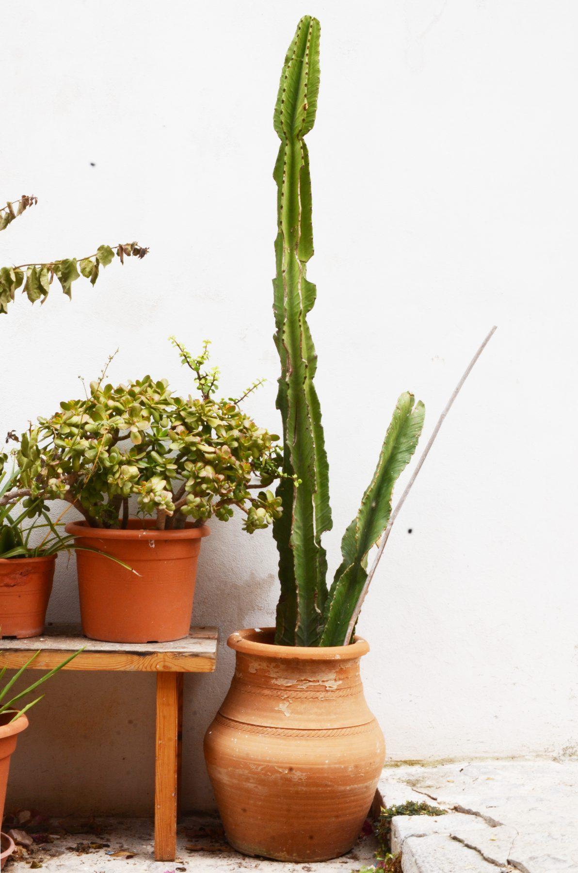 ibiza_cactus