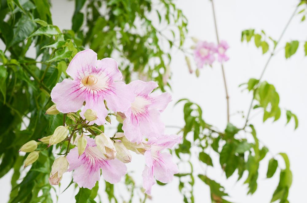 ibiza_fleurs